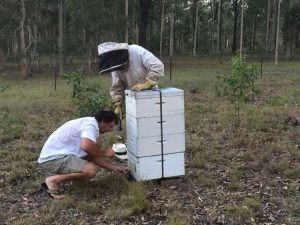 inspecting bee hives