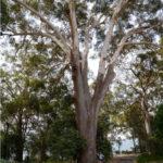 Blackbutt Tree