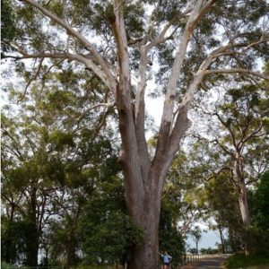 Blackbutt Tree