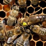 Bees making a hive